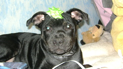Beback, chien Staffordshire Bull Terrier