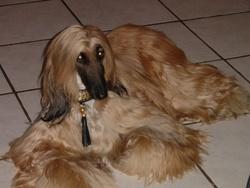Bouba, chien Lévrier afghan