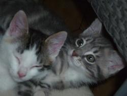 Lilou, chat Ocicat