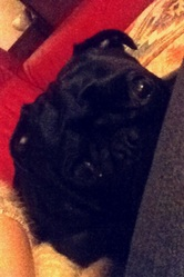 Bébé, chien Carlin