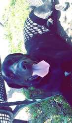 Bébé, chien Labrador Retriever