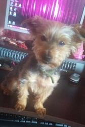 Bébé, chien Yorkshire Terrier