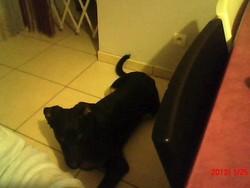 Bébé, chien Beauceron