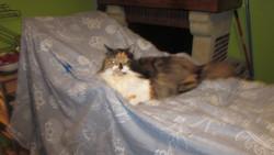 Bébé, chat Persan