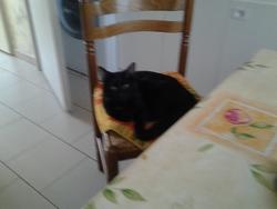 Bébé, chat Européen