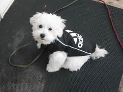 Bébé Bella, chien Bichon maltais