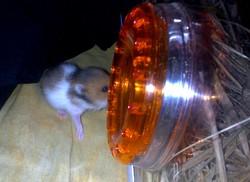 Bebe Bis, rongeur Hamster