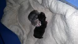Bébé Chats, chat Européen