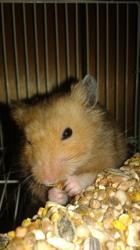 Bébé Coco Shushi, rongeur Hamster