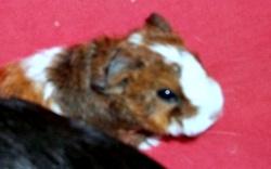 Spoutnik, rongeur Cochon d'Inde