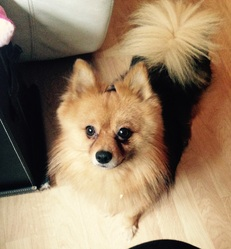 Bébé Loulou, chien Spitz allemand