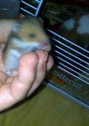 Bebe Michel, rongeur Hamster