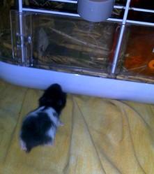 Bebe Oreo, rongeur Hamster