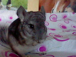 Pixou, rongeur Chinchilla