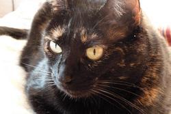 Bébénoire, chat Européen