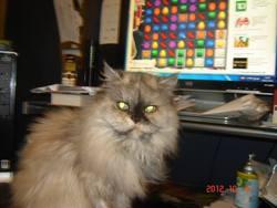 Bébitte, chat Persan