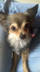 Beboune, chien Chihuahua
