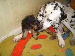 Schweppes, chien Dalmatien