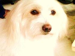 Becky 110712, chien Coton de Tuléar