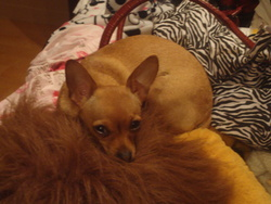 Becky, chien Chihuahua