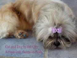 Becky, chien Shih Tzu