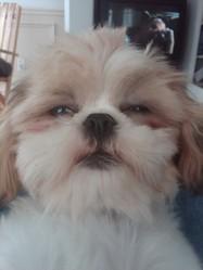Béco Le Ptit Coco, chien Shih Tzu