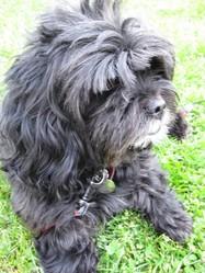 Roméo, chien Terrier tibétain