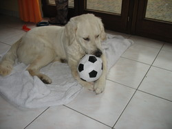 Beddy, chien Golden Retriever