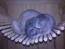 Picasso, rongeur Chinchilla