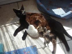 Mitaine, chat