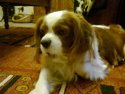 Beegee, chien Cavalier King Charles Spaniel