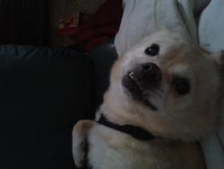 Beethoven, chien Pékinois