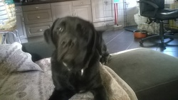 Beethoven, chien Labrador Retriever