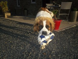 Beethoven, chien Saint-Bernard