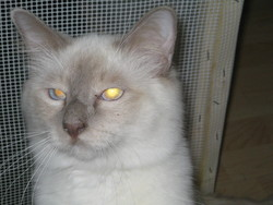 Beethoven, chat Birman