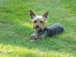 Beetlejuice, chien Yorkshire Terrier