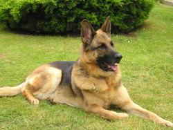 Tom, chien Berger allemand