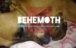 Béhémoth, chien