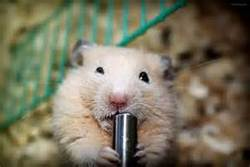 Beige, rongeur Hamster