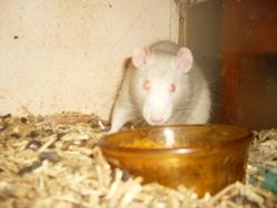 Belial, rongeur Rat