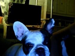 Belinda, chien Bouledogue français
