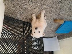 Belk, chien Berger blanc suisse
