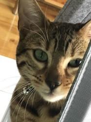 Bella, chaton Bengal