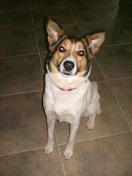 Belka, chien Berger de l'Atlas