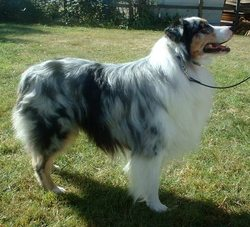 Bella, chien Berger australien