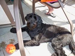 Bella, chien Golden Retriever