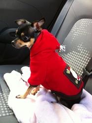 Bella, chien Chihuahua