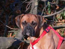 Bella, chien Boxer
