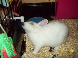 Bella, rongeur Lapin