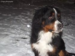 Bella, chien Bouvier bernois
